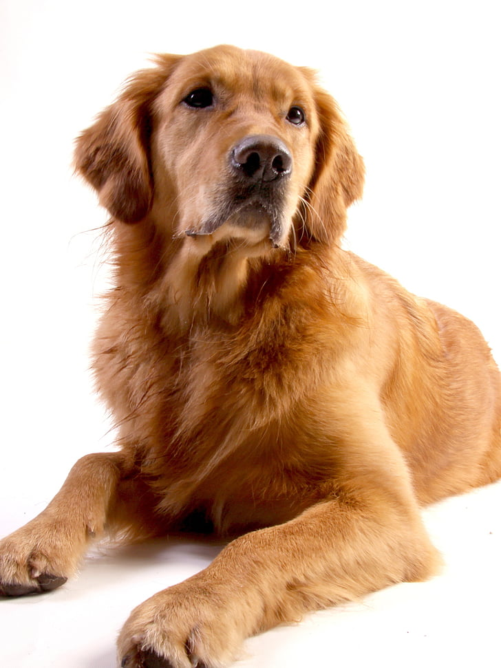 Documentalista dorato, cane, animale, Goldie, naso, buona, caro