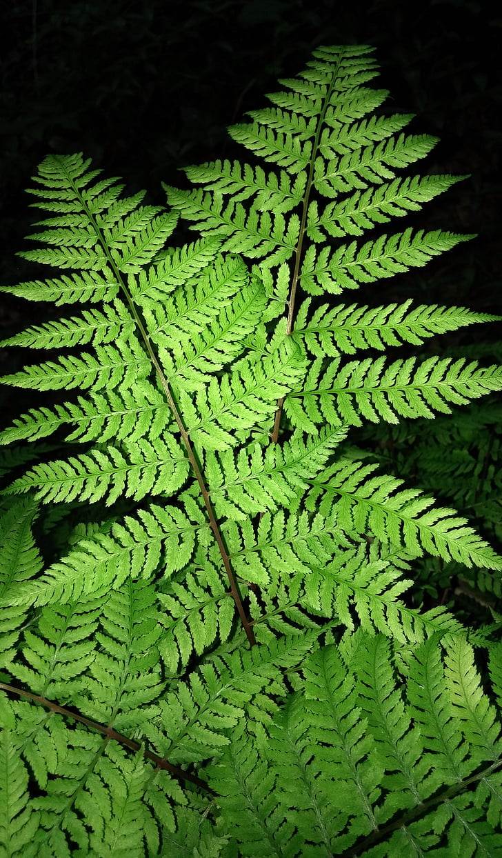 蕨类植物, 叶, 草香蕨, dennstaedtia punctilobula, 草香蕨, 绿色, 常绿