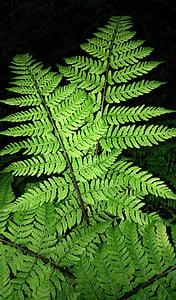 Falguera, fronda, fenc Falguera perfumades, dennstaedtia punctilobula, aroma de fenc Falguera, verd, arbre de fulla perenne