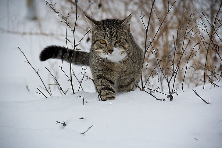 cat, animal, snow, domestic Cat, outdoors, winter, nature