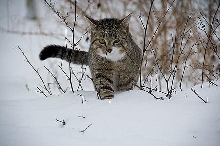 кішка, тварини, сніг, домашньої кішки, на відкритому повітрі, взимку, Природа