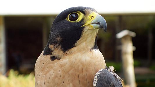 eagle, bird, beak, national bird, animal, alert
