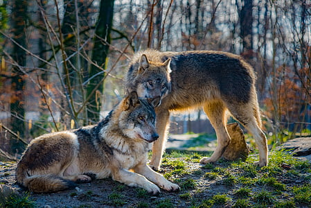 wolves, love, animal, attention, mammal, predator, wildlife photography