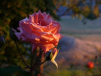 上升, 早上, 露水, 日出, 花, 花蕾, 花瓣