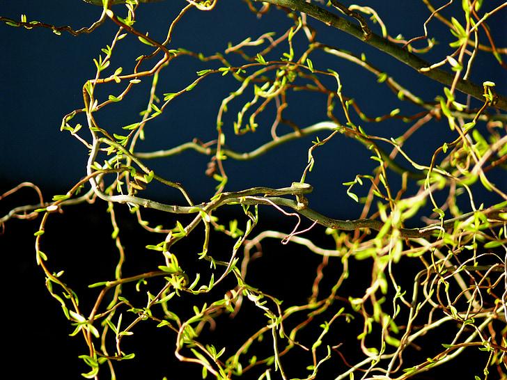 primavera, verd fresc, verd, Frisch, natura, fulles, arbre