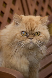persian, cat, tuinbak, domestic cat, pets, feline, whisker