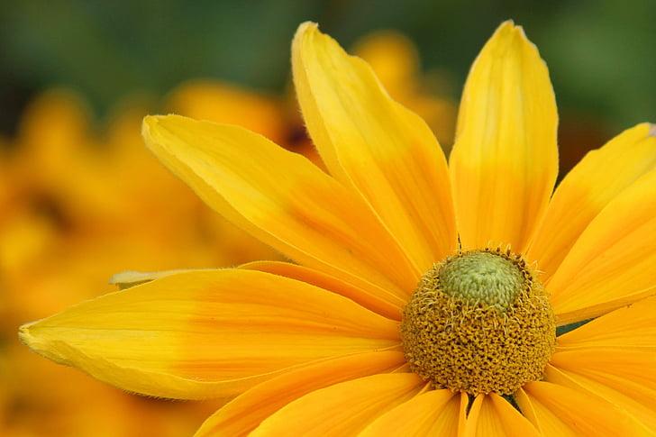 barret per al sol, flor, flor, groc, flor, jardí, pètal