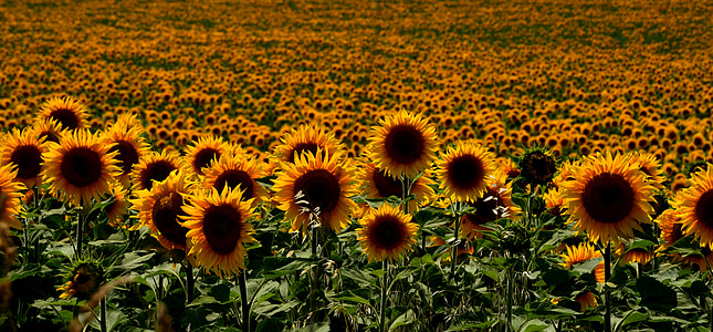 hungary, sunflowers, summer, sunflower, agriculture, nature, field