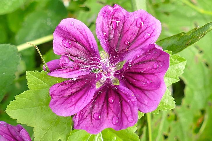 Mallow, sluiten, mooie, Violet, Blossom, Bloom, Bud