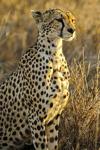 cheetah, sitting, big cat, watching, predator, mammal, animal
