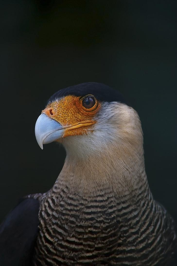 ave, eagle, feathers, fauna, bird, peak, birds of prey