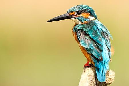 lintu, nokka, sulka, eläinten, lentää, värikäs, sininen