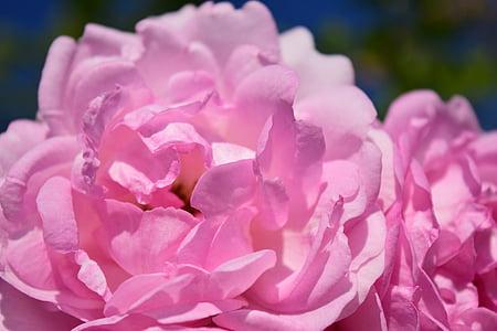 粉色, 上升, 粉红色的玫瑰, 花, 开花, 绽放, 玫瑰绽放