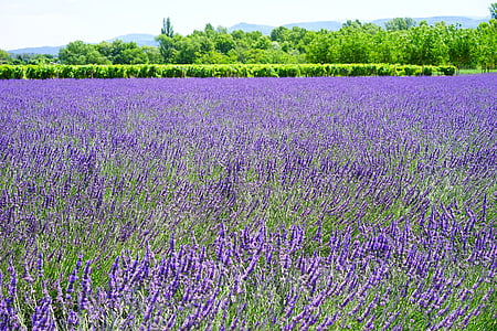 lavande, champ lavande, fleurs de lavande, bleu, fleurs, Purple, dunkellia