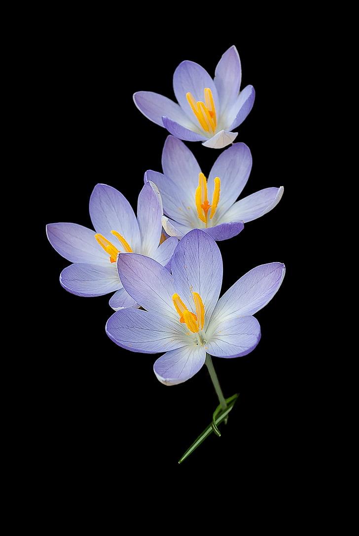 krokas, Gamta, fono, crocuses, gėlės, pavasarį, gėlė