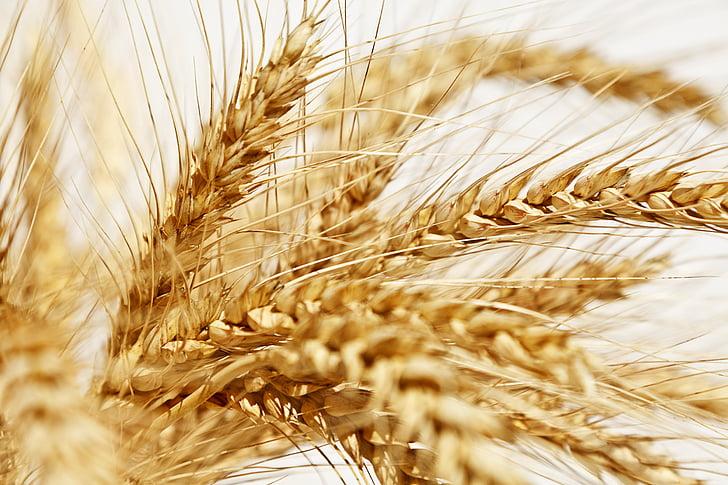 Спайк, желтый, Пшеница