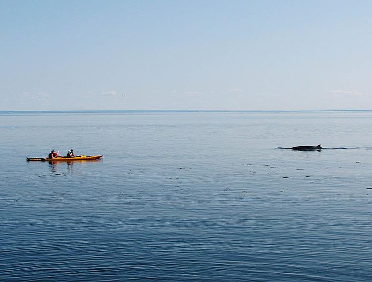 valis, kajaks, daba, jūras, vērojot, smaiļošana, tadoussac