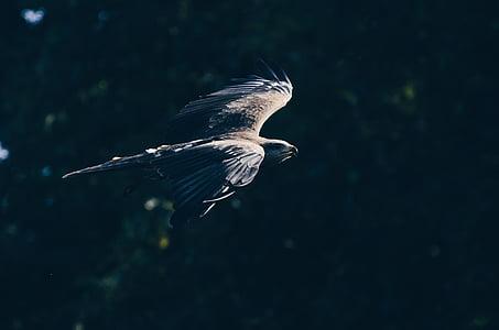 eläinten, lintu, Eagle, Wildlife, Ulkouima, Pet, Bokeh