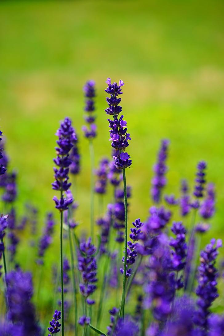 Levanda, gėlės, gėlė, violetinė, violetinė, augalų, žydi levandos