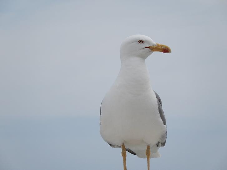 Deniz martı, kuş, martı, martı, sinek, kanat, Seabird