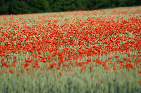 poppy, brightly colored, red, spring, flower, nature, field