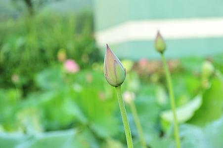struky, Lotus semien, Lotus, elegantné, umeleckej koncepcie, Lotus lístia, kvety