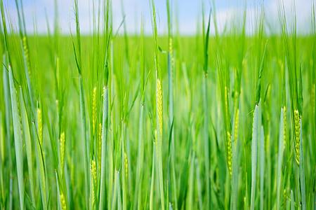 campo de trigo, trigo, sementes, sementeira, brotos de, jovem, Frisch