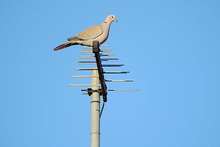 kyyhkynen, Streptopelia decaocto, Dove, Dove antenni, lintu, eläinten, Wildlife