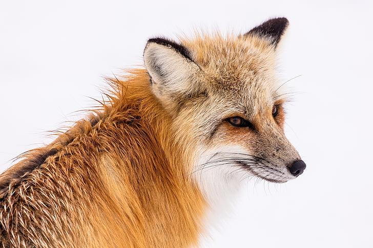 Red fox, động vật hoang dã, tuyết, mùa đông, chân dung, ngồi, Thiên nhiên