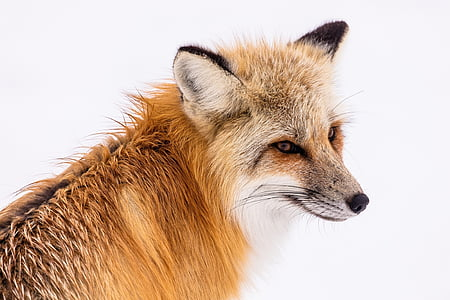 red fox, wildlife, snow, winter, portrait, sitting, nature