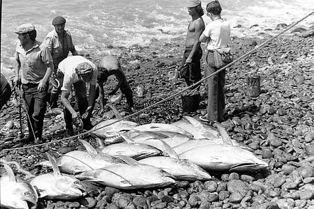 tuna, fish, fishing, black and white, food, meeresbewohner
