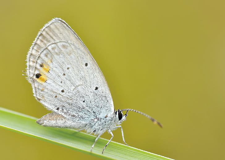 daba, kukainis, tauriņš, makro, tauriņš - kukaiņu, dzīvnieku, dzīvnieku spārnu