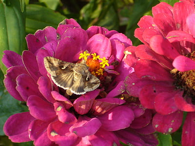 hummingbird hawk moth, butterfly, flowers, summer, nature, insect