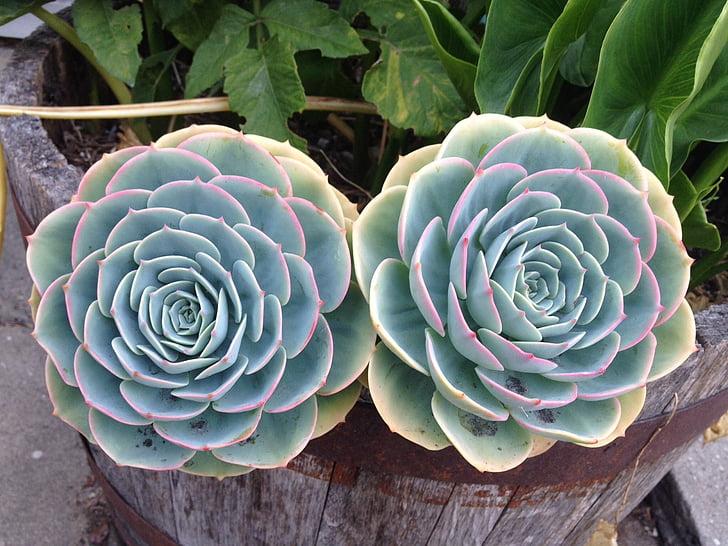 succulents, thực vật, Hoa, Thiên nhiên, lá, mùa hè
