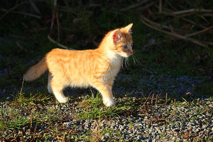 katt, kattunge, katt baby, unga katter, ung katt, makrill, Röd katt