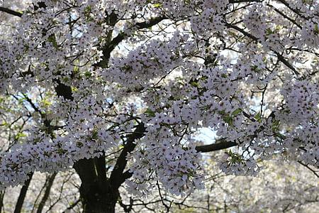 cirera, arbre, flor, primavera, Sakura
