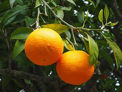 orange, fruits, oranger, agrumes, arbre, bigorneau, agrumes