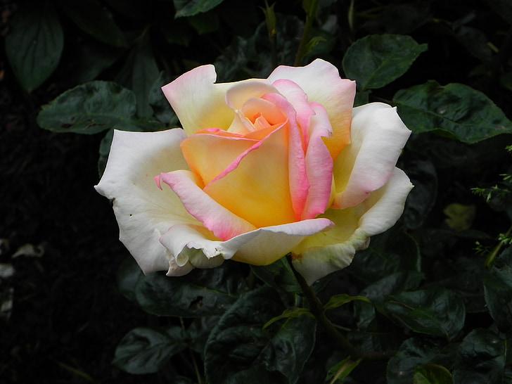 ökade, gul, rosblom, våren, rosenblad, blomma, doft