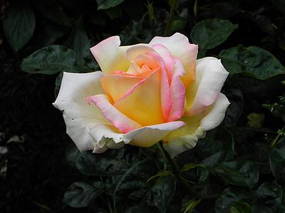 Rosa, groc, flor rosa, primavera, pètals de Rosa, flor, fragància