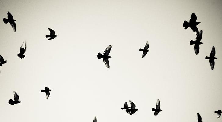 paukščiai, balandžiai, plaukioja, dangus, Dom, oro, skristi