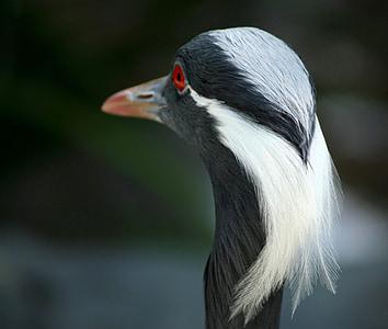 Момин жерав, Крейн, птица, дива природа, перушина, елегантност, Авес