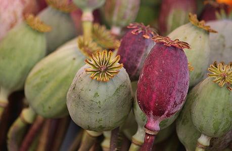 Mak, Mak kapsuly, mohngewaechs, Flora, rastlín, semeno kapsuly, farebné