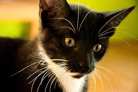 cat, kitten, tomcat, black cat, domestic cat, black, little kitty