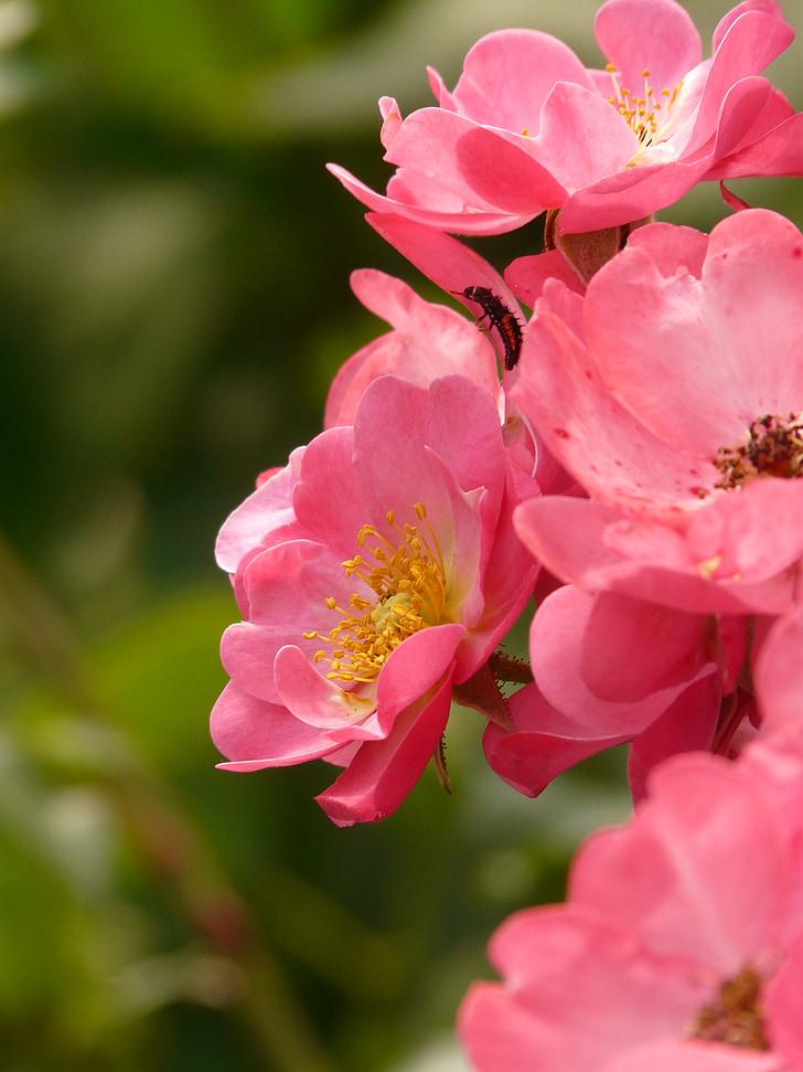 Rosa, flor rosa, Rosa, olor, pètal, macro, tancar