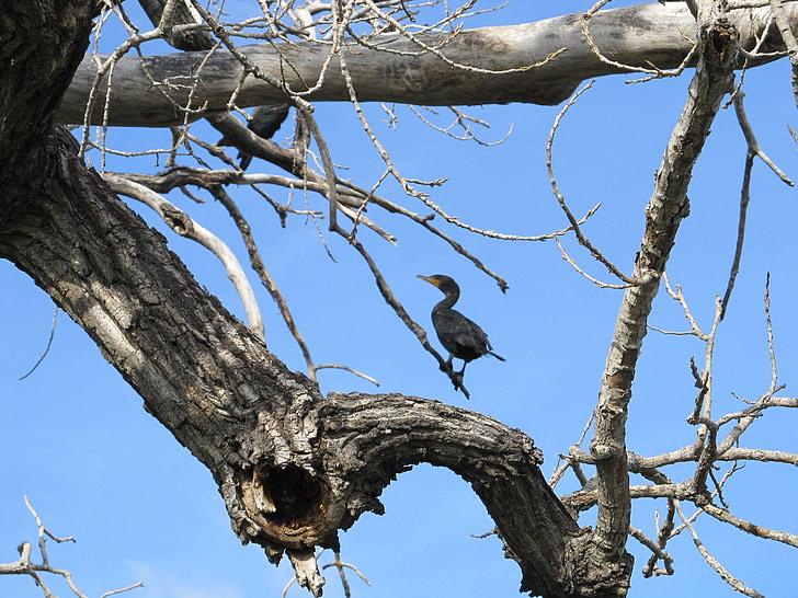 bird, cormorant, double-crested, tree, limb, branch, frame