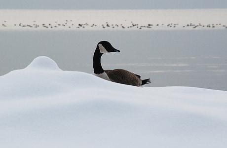 ガチョウ, 冷, 雪, アヒル, 湖, 冬, 野生動物