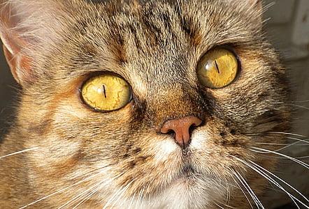 kissa, pää, kasvot, makro, Lähikuva, haku, kotimaan