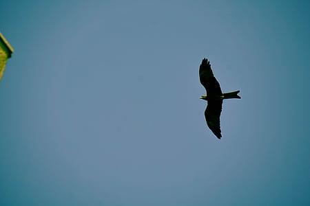 musta, lintu, Flying, sininen, taivas, Linnut, Eagle