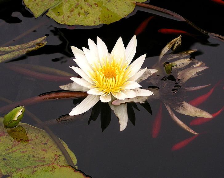l'aigua, lliri, Koi, Estany, natura, flor, Lotus
