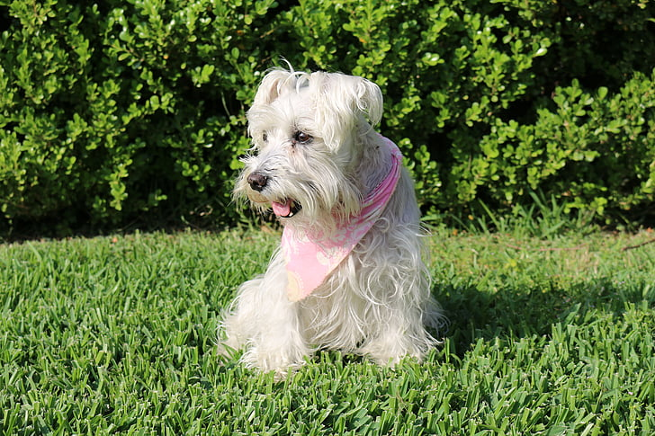 dogs, schnauzer, pet, dog breed, german, white fur, female